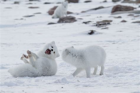 10 Fun Facts About The Arctic Fox Arctic Kingdom