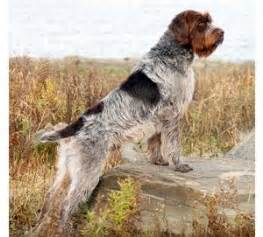 1000 ideas about wirehaired pointing griffon on pinterest