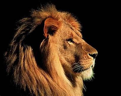 Lion Bing Desktop Lions Wallpapers Backgrounds Face