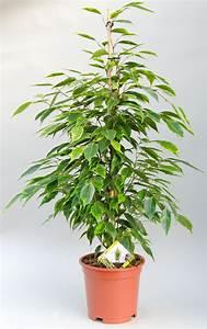 Ficus Benjamini Vermehren : ficus benjamini ficus benjamina wikipedia ficus ~ Lizthompson.info Haus und Dekorationen