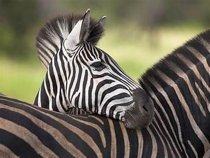 Zebra Cebras Wallpapers Africanas Sweet Zebras Hoofd