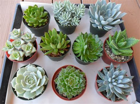 order succulents reserved for paula succulent plants for you aquarium
