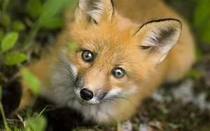 fox wallpapers for desktop pixelstalk net