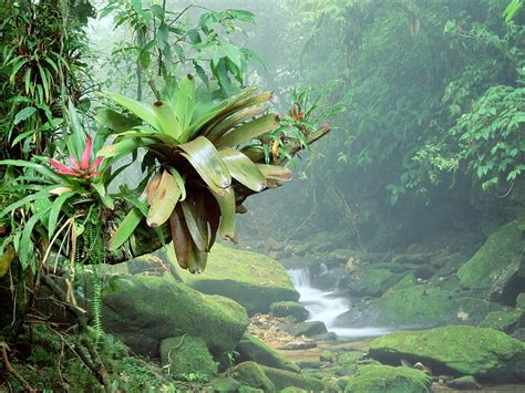 Bromeliads, Bocaina National Park, Atlantic Rainforest