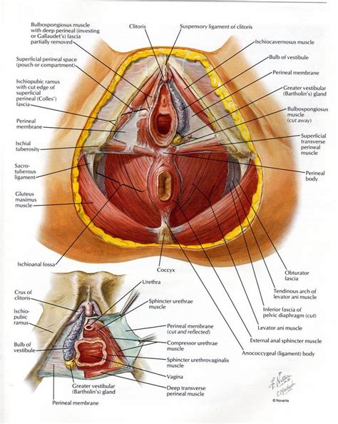 Muscles Of The Pelvic Floor In by Pelvic Expert