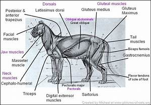 Superficial Muscles Of The Cat Drawing
