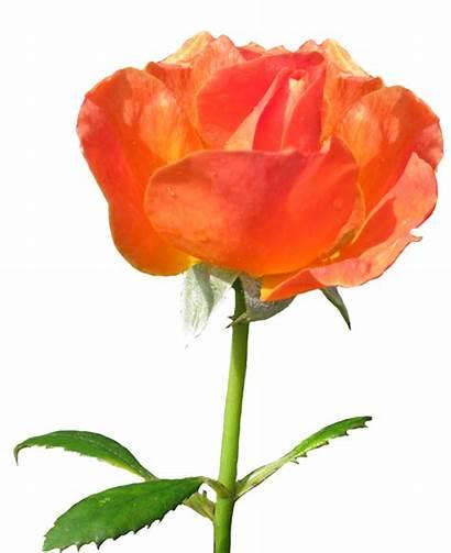 Rose Clipart Orange Roses Sevillana Clipground Clipartqueen