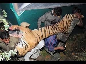 Man eating Tiger shot dead in Kappachi Village near Ooty ...