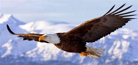 masyarakat kayong utara serahkan burung elang hitam