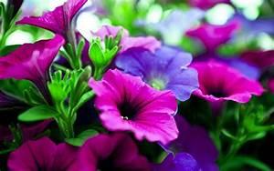 pink purple flowers hd