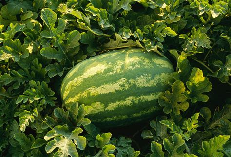 yellow watermelon plant care  growing guide
