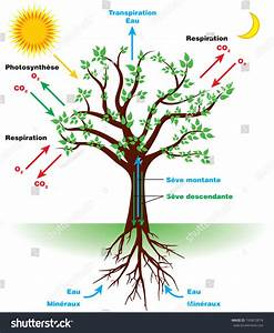 Tree Photosynthesis Diagram French Stock Vector 745812874