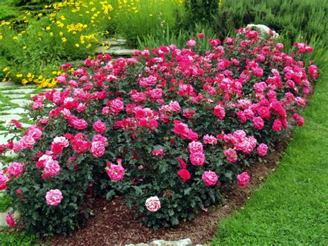 societe francaise des roses comment choisir son rosier