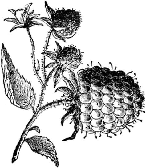 raspberry bush clipart black and white raspberry clipart etc