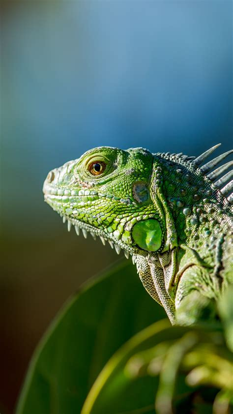 wallpaper iguana green animals