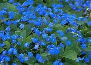 Blumen Für Sonnigen Standort : omphalodes verna das waldgedenkemein blaue bl te ~ Michelbontemps.com Haus und Dekorationen