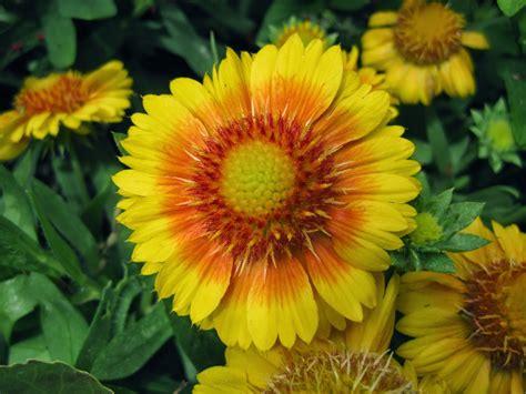 Blanket Flowers Add Punch  Mark's Garden Ruminations