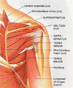 Posterior Shoulder Anatomy Diagram   Posterior Shoulder