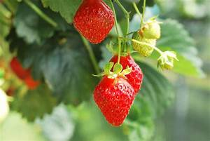 Caring For Strawberries In Hot Conditions – Tips On ...