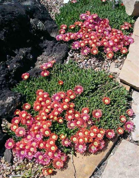 Welche Pflanzen Für Steingarten by Pflanzen Steingarten Mittagsblume Delosperma Pink