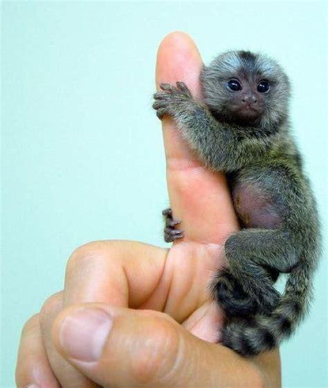 finger monkey cutest things ever pinterest