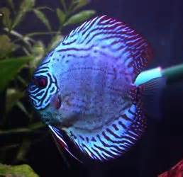 images  colorful fish  pinterest great