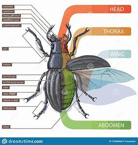 Illustration Of An Insect  Diagram With Labeled Parts Of A