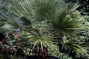 Hanfpalme Braune Blätter : hanfpalme pflanzen pflegen gie en und mehr ~ Lizthompson.info Haus und Dekorationen