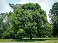 best white oak tree ideas and images on bing find what you ll love