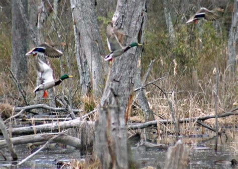 Duck Hunting Boat Blind Tips by Duck Boat Blind Pictures Tips For Duck Hunting Out Of