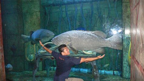 grouper goliath aquarium fish atlantis action vet