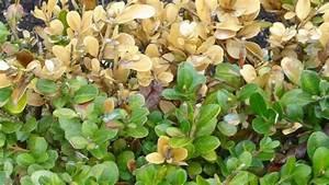 Blätter Werden Braun Und Trocken : pilz vernichtet buchs resistenz unterscheidet sichpilz vernichtet buchs ~ Orissabook.com Haus und Dekorationen