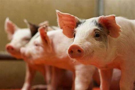 Calcium to phosphorus ratio in pig diets established by ...