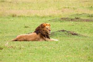 Dominant Male Lion Stock Photography - Image: 18802352