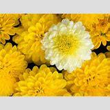 Marigold Flower Wallpaper | 1600 x 1200 jpeg 187kB