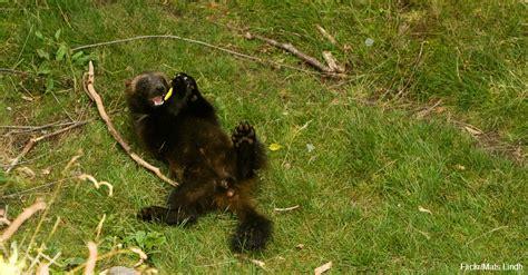wolverine wolverines stealthy travelers