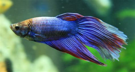best images about you betta work it on betta fish information care community bettafish org 17