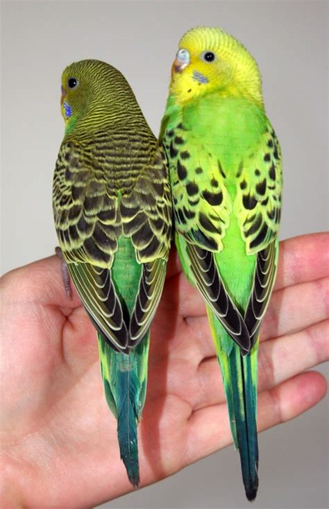 budgie colors budgie parakeet colors varieties mutations genetics