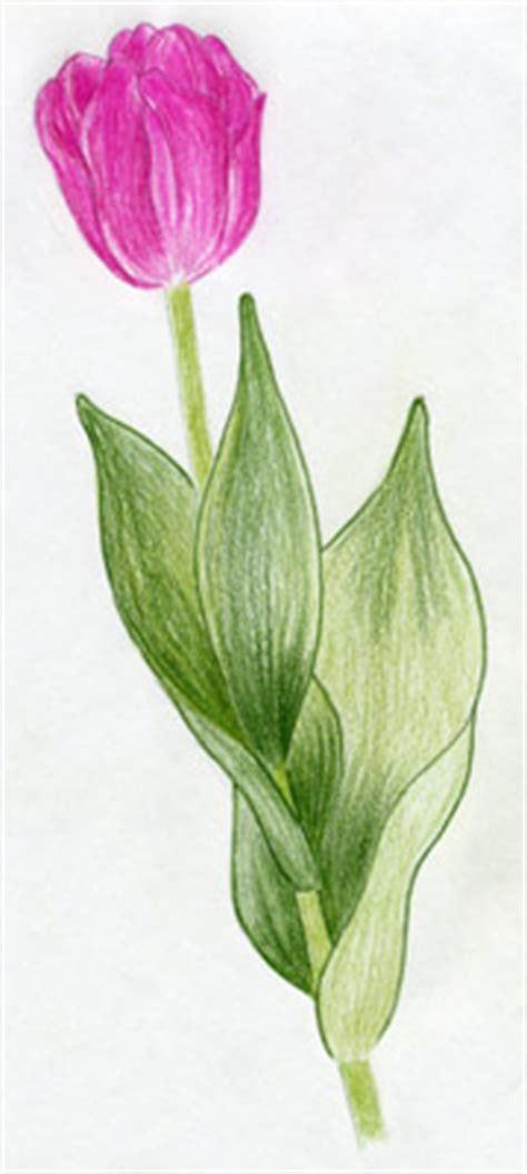 draw tulip flowers   easy steps