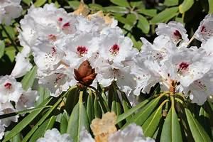 Braune Blätter Am Rhododendron : rhododendron krankheiten von a z blattkrankheiten pilze ~ Lizthompson.info Haus und Dekorationen