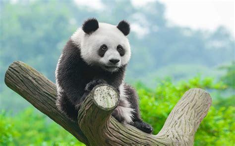 panda hd wallpapers wallpapersnet
