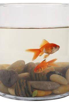overfeed goldfish animals momme