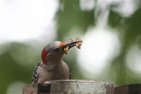 what do woodpeckers eat lake life red bellied woodpeckers eating mealworms