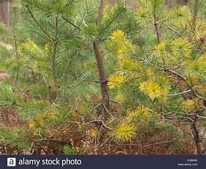 Unterschied Pinie Kiefer : pine fir pinus kiefer stock photo royalty free image 47539408 alamy ~ Orissabook.com Haus und Dekorationen