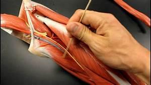 Muscular System Anatomy  Medial Thigh Region Muscles Model