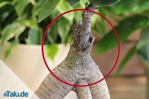 Ficus Bonsai Schneiden : ficus ginseng pflege anleitung und fehler vermeiden ~ Indierocktalk.com Haus und Dekorationen