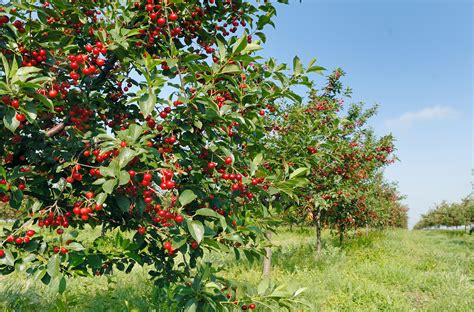 tree with cherry like fruit sweet cherries secrets to growing tons of fruit fast growing trees com blog