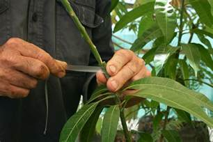 Propagating Fruit Trees
