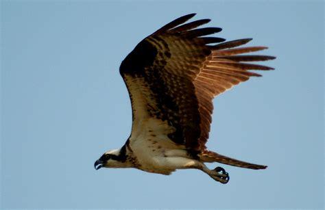 raptor bird edupic birds of prey images