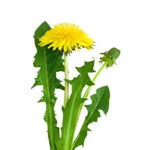 flower clip löwenzahn löwenzahnblätter lebensmittel warenkunde